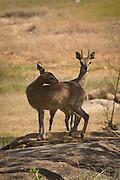 Klipspringer (Oreotragus oreotragus) male and female in Matobo Naitonal Park, Zimbabwe. © Michael Durham / www.DurmPhoto.com