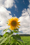 Sunflower with blue sky and white clouds.