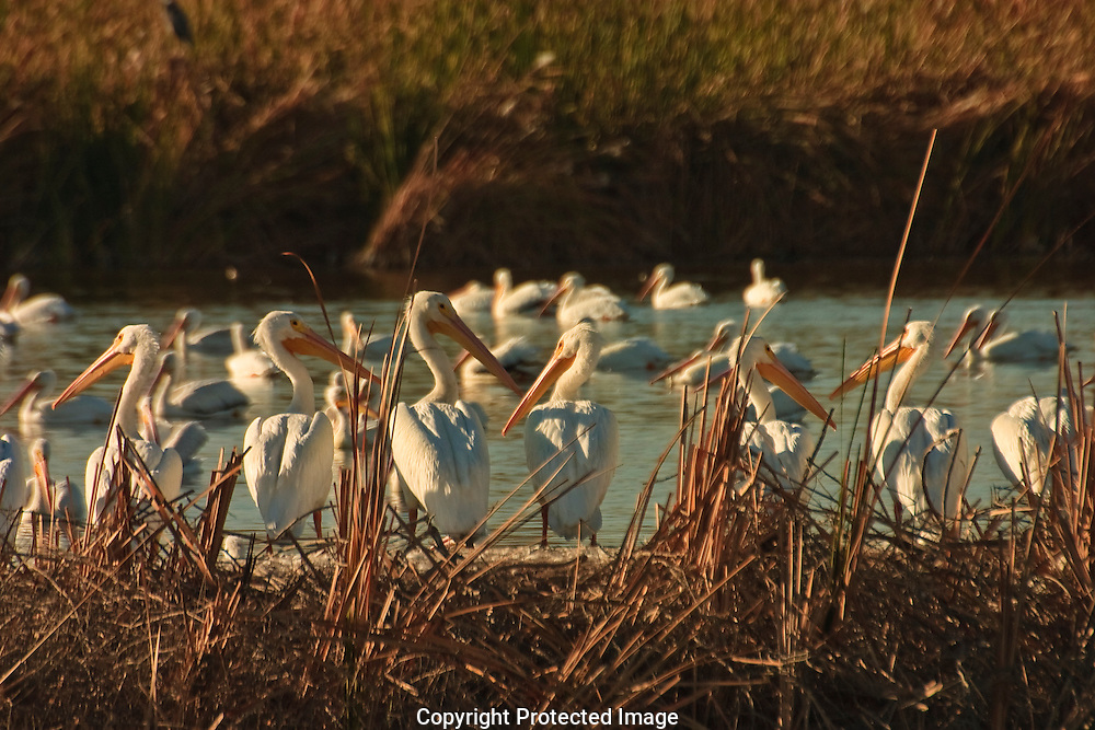 American White Pelicans cooperate with each other to surround fish in shallow water.