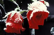 AUT, Austria, Vienna, hoar frost on roses (Rosa) at Beethoven's grave at the Central Graveyard....AUT, Oesterreich, Wien, Raureif auf Rosen (Rosa) am Grab von Beethoven auf dem Zentralfriedhof .........