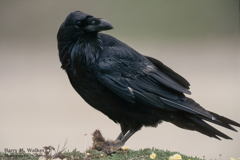 Common Raven (Corvus corax) with piece of carrion Arctic Ground Squirrel in claws; Denali National Park in Alaska