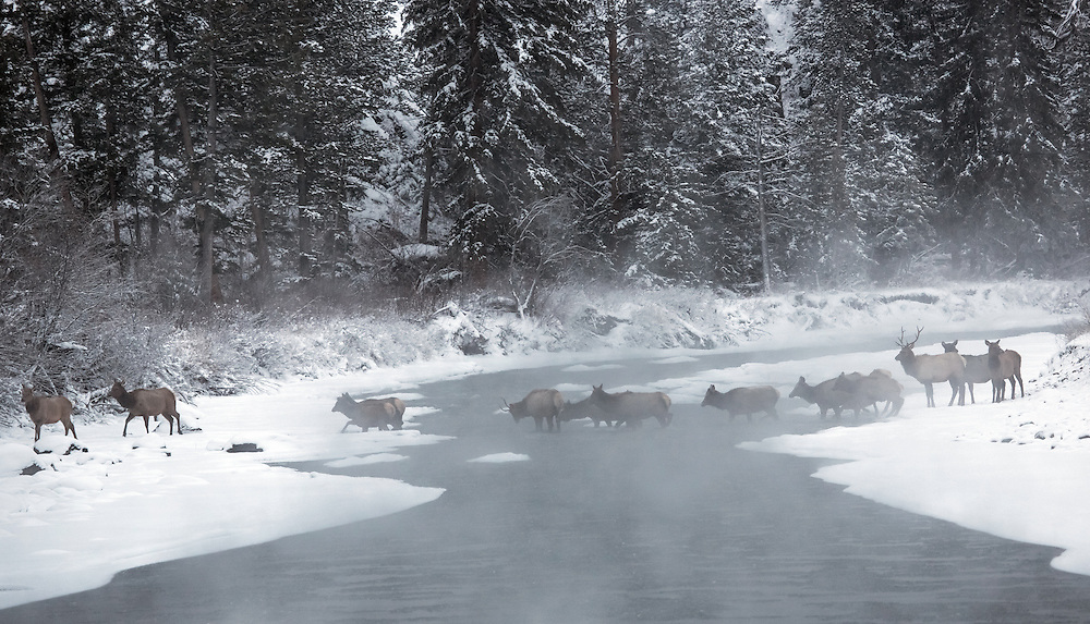 A herd of elk cross the steaming Shoshone River during a subzero morning in the Shoshone National Forest.