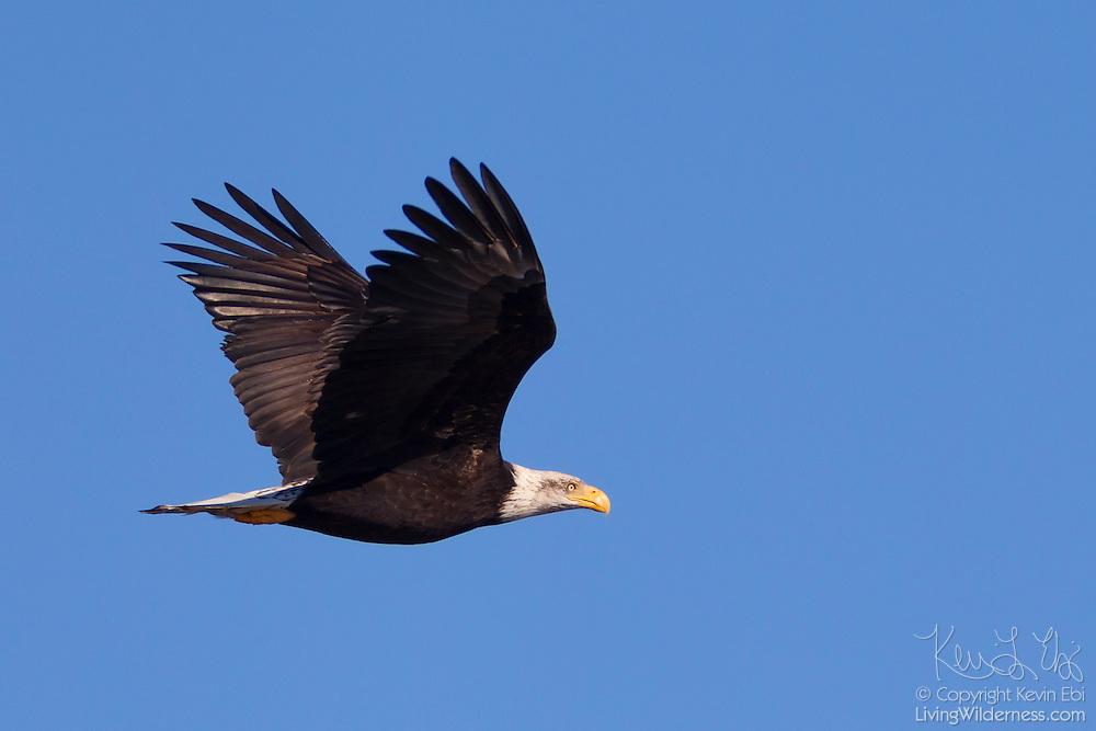 A subadult bald eagle (Haliaeetus leucocephalus) flies against a blue sky over Ocean Shores, Washington. Bald eagles don't typically earn their pure white heads and tails until they are 4 or 5 years old.