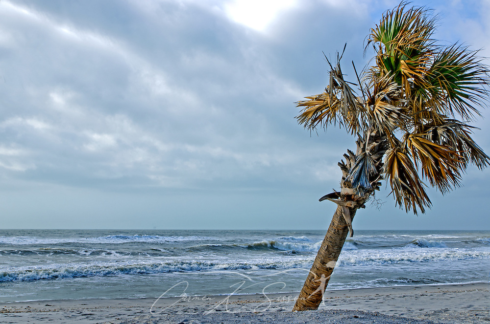 A palm tree blows in the wind on a sunny day on Dauphin Island, Alabama. (Photo by Carmen K. Sisson/Cloudybright)