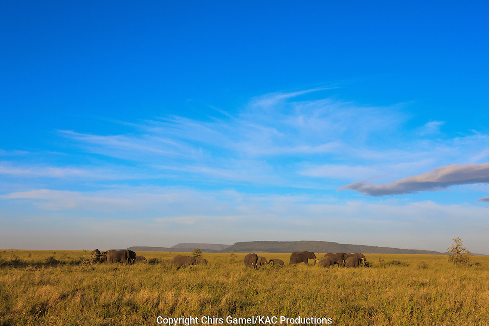 Elephant herd on the African savanna.