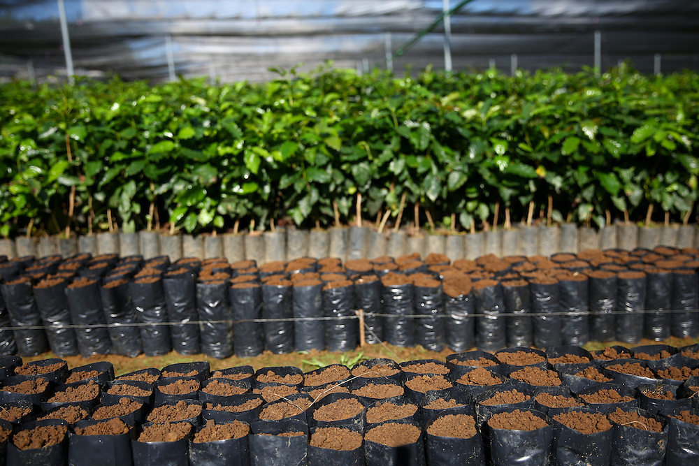 Young trees and seedlings are shown in the Jaltenango coffee tree nursery in Chiapas, Mexico. (Joshua Trujillo, Starbucks)