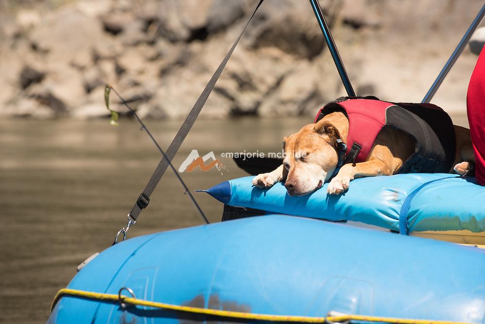 Dog asleep on the raft on the Main Lower Salmon River, Hammer Creek to Hellar Bar, Idaho.