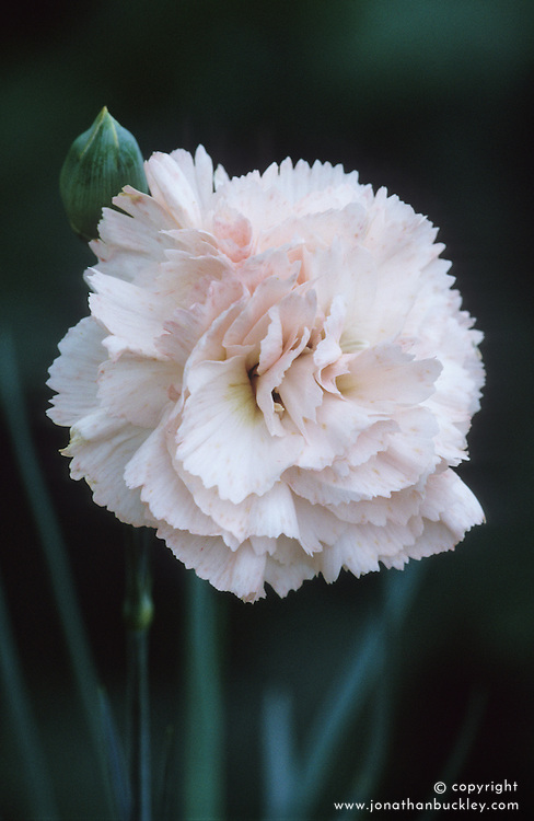 Dianthus 'Widecombe'- Carnation, Pink
