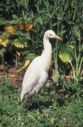 Egret standing in garden in India,