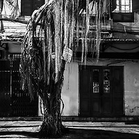 One of the beautiful trees that line the streets of Hanoi, Vietnam.