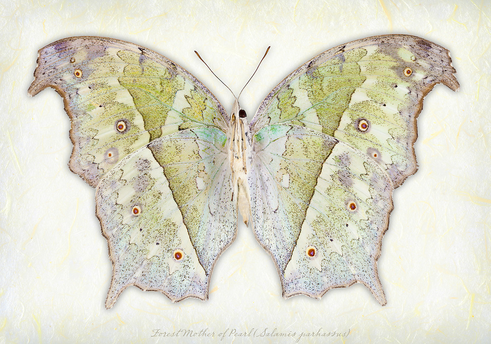 Forest Mother of Pearl Butterfly (Salamis parhassus) underside / LPD213c