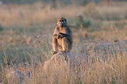 Baboon sitting on anthill