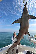 "Miami Sea Fisherman Mark the shark pictured with a hugh Hammerhead  shark that was caught on Saturday over 14' in length and weighing over 850 lbs..it took Mark 4 hrs to land, In his belly was 6 stingrays, a tarpon head, 2 groupers, 4 lion fish, and part of a sea turtle, <br /> <br /> Mark said ""As far as hammerheads go..that's one the the biggest in these waters""<br /> <br /> Mark the Shark, who is licensed Shark fisherman by the state of Miami, Tiger sharks and hummerhead sharks are protected upto 3 miles in state waters can be caught but are all tagged and released, sharks outside 3 miles in federal waters can be harvested for scientific purpose, research and even food for restaurants,<br /> ©Exclusivepix Media"