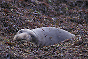 Northern Elephant Seal <br /> Mirounga angustirostris<br /> Juvenile resting in bed of seaweed<br /> Ano Nuevo State Reserve, CA, USA