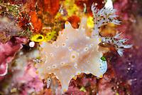 Halgerda nudibranch, Sangalaki, Kalimantan, Indonesia.