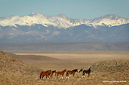 Wild Horse<br /> BLM Land - Conojos County, Colorado<br /> <br /> At home in the shadow of the Sangre de Christo mountains in southern Colorado, this small band of wild horses poses briefly for a photograph before disappearing over the hill and into the valley below, where they will seek safety along the banks of the Rio Grande River.<br /> <br /> Edition of 500