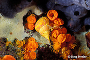 golden wentletrap or wentle-trap shells, Epitonium billeeanum, and egg masses laid among orange cup coral, Tubastrea coccinea, on which they feed, Galapagos Islands, Ecuador, ( Eastern Pacific )