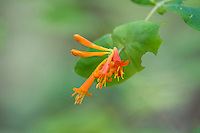 This beautiful native honeysuckle is commonly found in forests and disturbed areas throughout the Pacific Northwest. As an important food source for hummingbirds, the sweet nectar also attracts moths at night. Native tribes have used the vines for making baskets, and the leaves were used in women's health as a tea to encourage lactation and ease cramps.