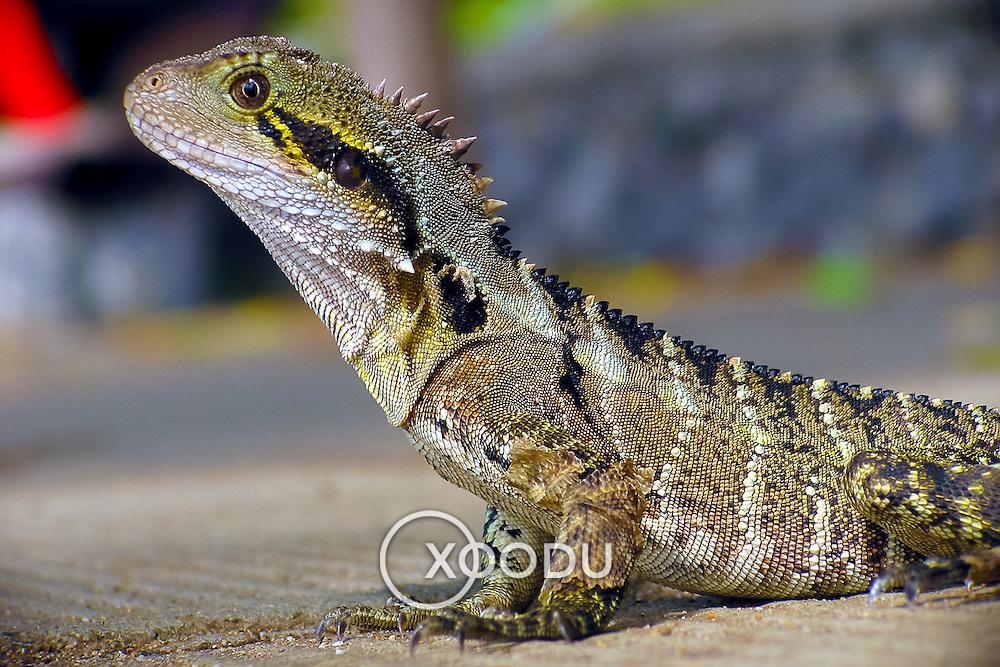 Lizard macro, Brisbane, Australia (March 2002)