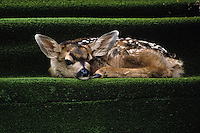 Mule Deer [Odocoileus hemionus] fawn napping on astro-turf covered doorstep; Colorado Springs, Colorado