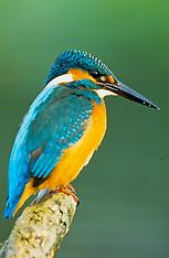 IJsvogels, Alcedinidae