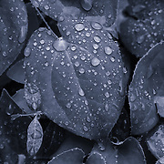 """""""Metallica""""<br /> <br /> A monochrome nature abstract of leaves and water droplets!"""
