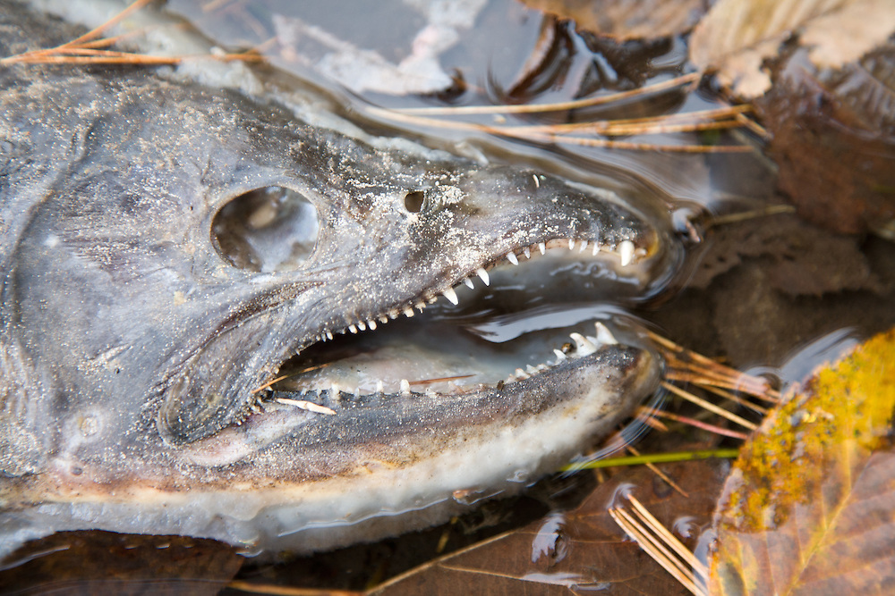 Decomposing chinook (King) salmon in the Pere Marquette River, Michigan.  Oncorhynchus tshawytscha.