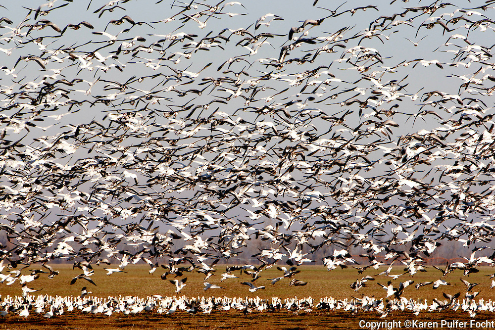 Thousands of  snow geese take off as a convocation of young eagles preys on their roosting spot. Snow geese were once hunted to extinction but they have become over populated due to high yielding crops. Many of the eagles make Reel Foot a year round home due to the high food supply in the area.