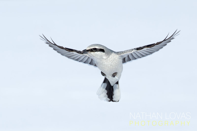 Northern Shrike in flight;  Minnesota.