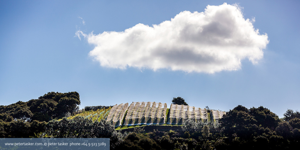 Vineyard, above Orapiu Bay, Waiheke Island, New Zealand.