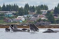 Humpback Whale bubble net feeding near Angoon in Chatham Strait, Alaska.