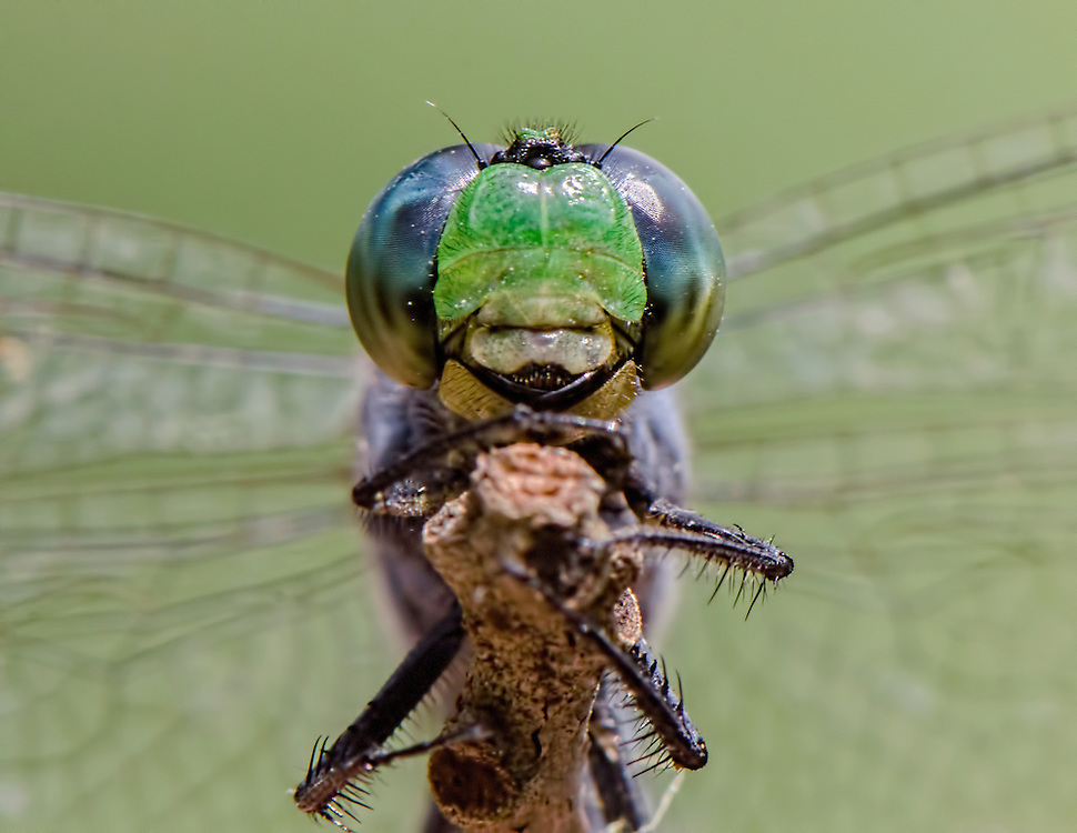 Eastern Pondhawk Dragonfly, Erythemis simplicicollis;<br />