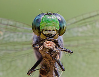 Eastern Pondhawk Dragonfly, Erythemis simplicicollis;<br /> Photographer:  Wade Grassedonio<br /> Property:  Texas Photo Ranch / River Revocable Surface, LLC-River Testamentary Surface, LLC<br /> Refugio County