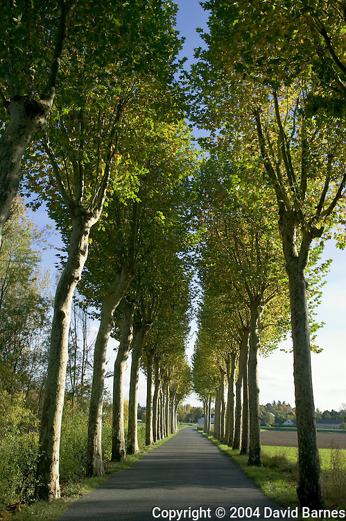 Alley of plane trees along road in the Indre-et-Loire, Loire Valley, France