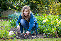 Planting 'Troy' onion sets in the vegetable garden outside. Allium cepa
