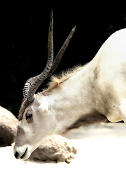 The addax, also known as the screwhorn antelope, is an antelope of the genus Addax, that lives in the Sahara desert. It was first described by Henri Blainville, a French zoologist and anatomist, in 1816. This shot was  taken at the Saint Louis Zoo.