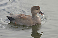 Gadwall photos