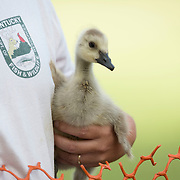A gosling is held before it is banded by group of volunteers, led by members of the Kentucky Department of Fish and Wildlife Resources, at Jacobson Park in Lexington, Ky., on Tuesday July 1, 2014. Around 475 geese were banded at the park and at a farm in Fayette County as part of a population study. Under the direction of the Department of Fish and Wildlife, each year at this time in various locations around the state, when the geese are molting and unable to fly, they are rounded up, banded, their genders identified and quickly released. Photo by David Stephenson