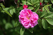 Many varieties of Tree Roses bloom in May and June. I like to capture images of these with the incident light provided by the sun, instead of making any attempt to add further illumination. I prefer the shadows that are created within the bloom through this approach.