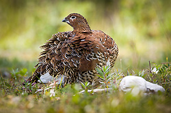 A female willow ptarmigan ruffles its feathers along the Savage River near the Savage Canyon Trail in Denali National Park and Preserve in Alaska. Ptarmigan have feather covered feet to help protect from frozen ground. Its plumage is seasonal. During the winter their feathers turn to white to help camouflage the bird against predators.
