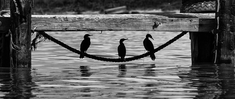 Cormorant's hanging out under a dock, seeking shelter from the hot sun.