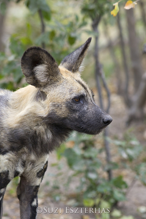 African Wild Dog<br /> Lycaon pictus<br /> Northern Botswana, Africa<br /> *Endangered species