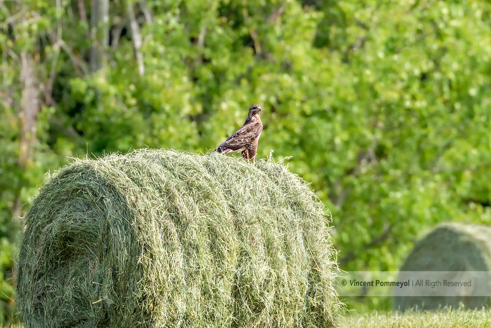 Common Buzzard-Buse variable ( Buteo buteo), Auvergne, France.