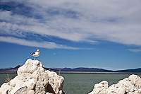 Mono Lake is home to the second largest gull rookery for California Gulls in North America. Here the gulls are safe from land based predators. By early May they have scratched out a spot for the nest and lay black specked eggs. They feast on Mono Lake's brine shrimp and alkali flies and stay through Fall, when they head back across the Sierra to the California coast.