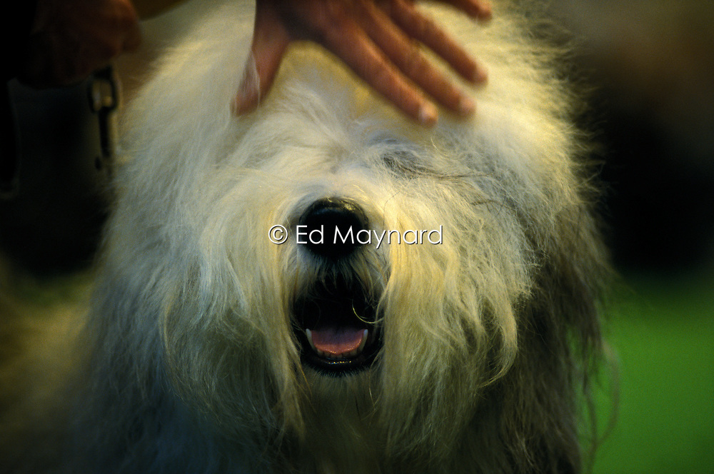 Owner strokes the face of their Old English Sheepdog at Crufts 2002, Birmingham, England, UK.