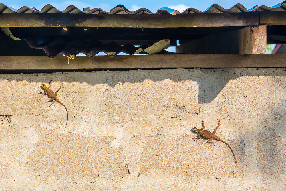Two Rainbow Agama Lizards (Agama agama) hang on a cement wall.  Ganta, Liberia