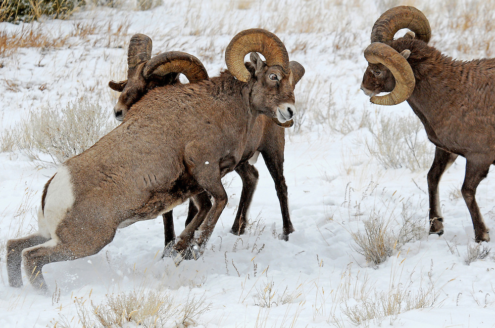 Two evenly matched bighorn rams battle for dominance, while a third challenger tries to get in on the action. These opponents rear back onto their hind legs and charge each other at speeds greater than twenty miles per hour.