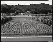 Rice harvest in September of 2011 near Fukushima city