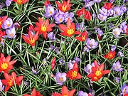 Red and Purple Flowers at Keukenhof, Holland