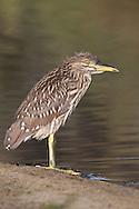 Black-crowned Night Heron - Nycticorax nycticorax - Juvenile